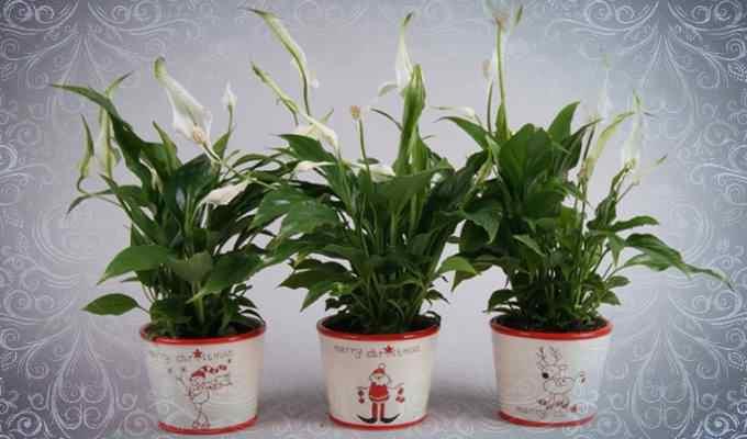 3 стильных горшка с белыми цветками