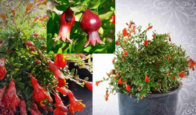Гранат карликовый (Punica nana)