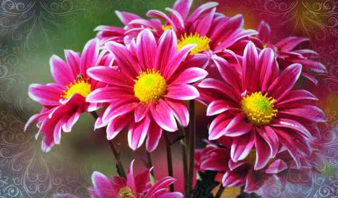 Хризантема (Chrysanthemum)