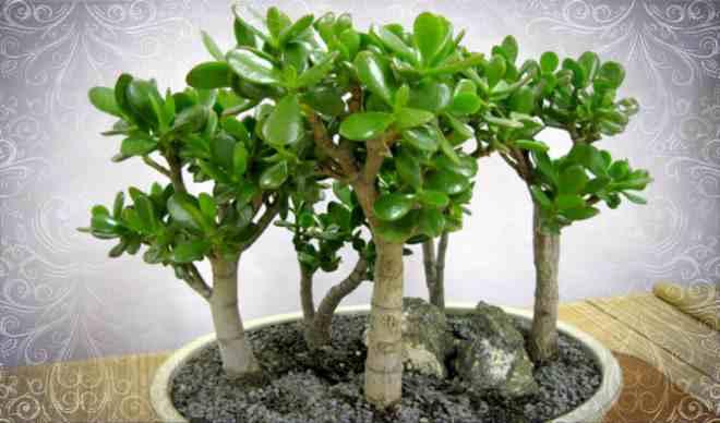 Вазон с растением Толстянка