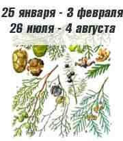 Кипарис по календарю друидов
