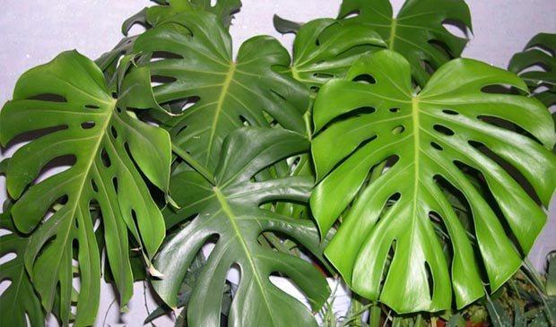 листья комнатной монстеры