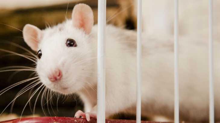 женщине во сне приснилась белая крыса