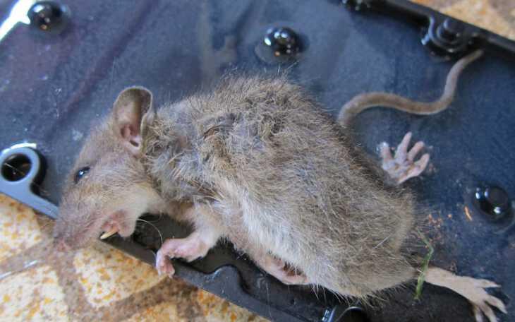 приснилась дохлая крыса