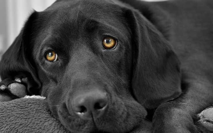 добрый черный пес