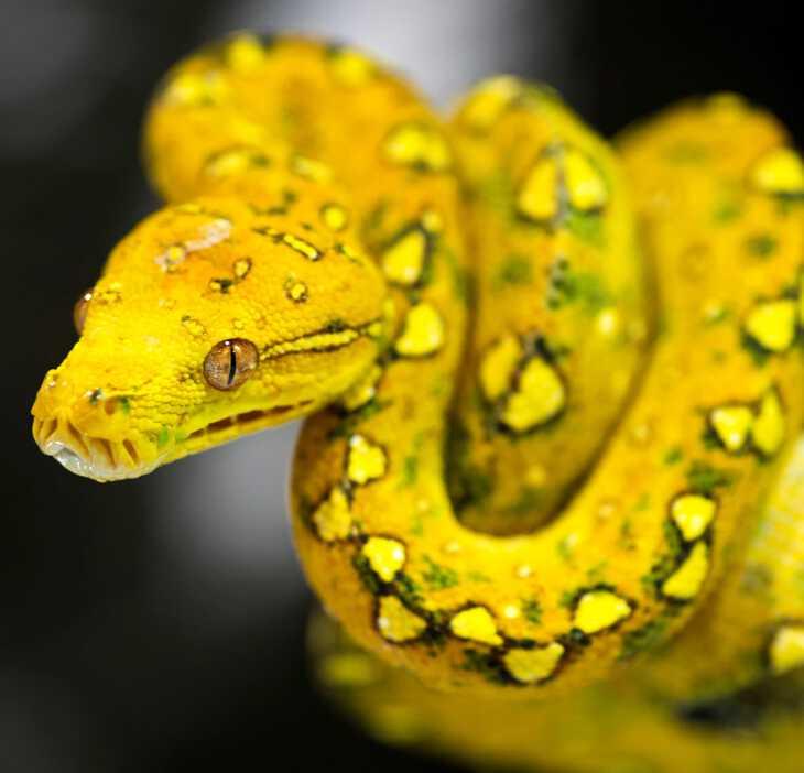 желтая змея в сновидении